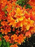Top Rhododendren umsetzen? wie mache ich das? FT51