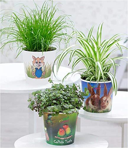 """BALDUR-Garten Pflanzen-Set""""Leckereien für ihr Haustier"""", 3 Pflanzen Chlorophytum 'Hase', Katzengras und Callisia 'Turtle'"""