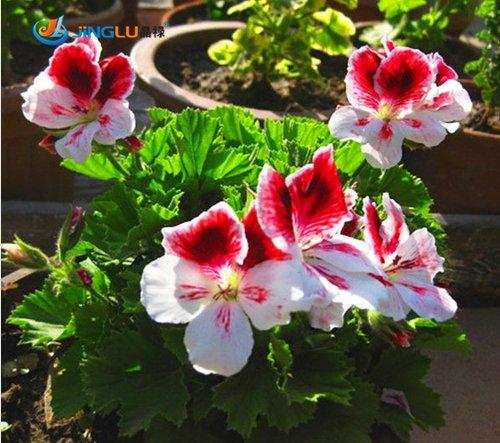 Jardin Géranium, Pelargonium Géranium Seeds, Pelargonium Fleurs -100 Seeds