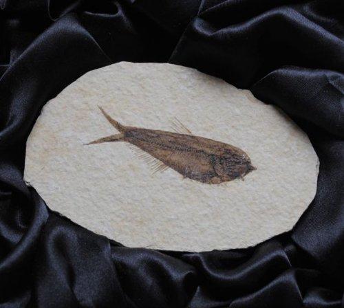 knightia-alta-fish-fossil-in-gift-box
