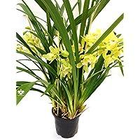 1 blühfähige Orchidee der Sorte: Cymbidium Happy Mail gelbgruen , traumhafte Orchidee vom deutschen Züchter