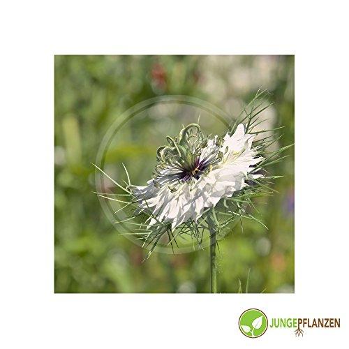 Kräutersamen - Schwarzkümmel / Nigella sativa - Ranunculaceae 300 Samen (Nigella Samen)