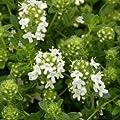 lichtnelke - Polsterthymian (Thymus praecox 'Wirral White') von Lichtnelke Pflanzenversand bei Du und dein Garten