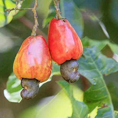 DaDago 10 Unids/Bolsa Semillas De Anacardos Semillas De Anacardos Semillas De Árboles Bonsai Flores Plantas para Semillas De Jardín De Azada