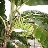 Future Exotics Musa acuminata Fruchtbanane Wintergarten Zimmer essbare Früchte 40 - 45 cm