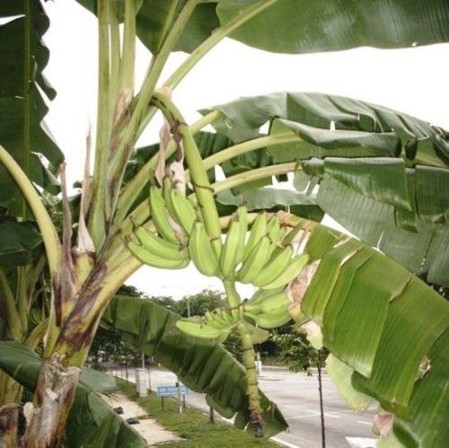 Future Exotics Musa acuminata Fruchtbanane Wintergarten Zimmer essbare Früchte