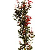Säulen-Blutbuche'Rohan Obelisk' Topfgröße wählbar [40-50 cm]