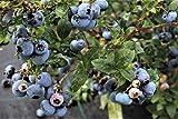 Mehrbeere® Heidelbeere: Die besten Aromasorten zusammen in einem Topf - kräftiger Strauch im 5lt-Topf