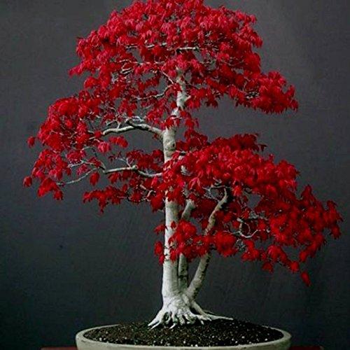 Japanese Red Maple Bonsai (20 Mini Beautiful Japanese Red Maple Bonsai Seeds, DIY Bonsai ornamental flowerpot)
