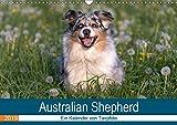 Australian Shepherd 2019 (Wandkalender 2019 DIN A3 quer): Faszinierende und liebenswerte Wegbegleiter (Monatskalender, 14 Seiten ) (CALVENDO Tiere)