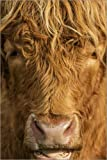 POSTERLOUNGE Forex 120 x 180 cm: Highland Cattle de Simon Booth/Science Photo Library