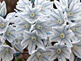 Portal Cool 50 X Puschkinia libanotica russe Snowdrops floraison printaniÚre Bulbes Plante
