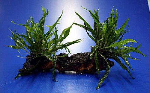 2 x Mini Javafarn auf einer schönen Mopani-Wurzel / Microsorum pt. 'Short Narrow Leaf' -