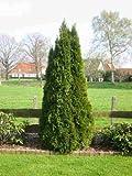 Thuja Lebensbaum 'Smaragd' Topfballen 25-30 cm 25 St. Hecke Heckenpflanze