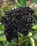 Schwarzer Holunder weiß blühend mit schwarzen Früchten. 1 Strauch - zu dem Artikel bekommen Sie gratis ein Paar Handschuhe für die Gartenarbeit dazu