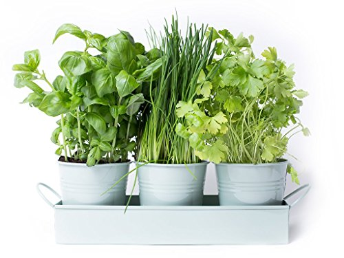 dill-herb-pots-on-a-tray-by-dill-and-mint