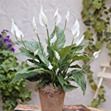 Einblatt Spathiphyllum Chopin - 2 pflanzen