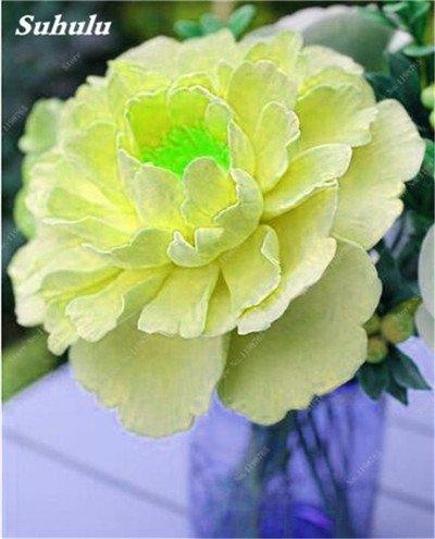Chinese National Flower 5 graines Pcs Pivoine Plante en pot Paeonia suffruticosa Arbre Terrasse Cour Illuminez votre jardin personnel 13