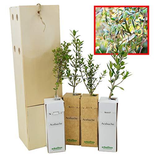 Olivo Silvestre 4 Unidades