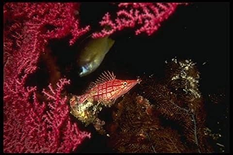307015 Hawkfish Feeding On Red Gorgonian Sea Fan A4 Photo Poster Print 10x8