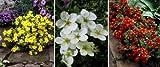 Dominik Blumen und Pflanzen, Fünffingerstrauch-Set, bestehend aus je 2 Pflanzen gelb, rot und weiß blühend