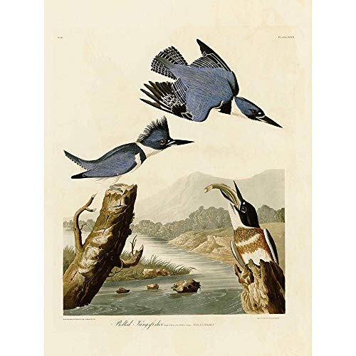 Wee Blue Coo Prints Painting Book Page Birds America Audubon Belted Kingfisher Poster Print Farbe Buch Seite Vogel Amerika König Fisch (Audubon Fisch)