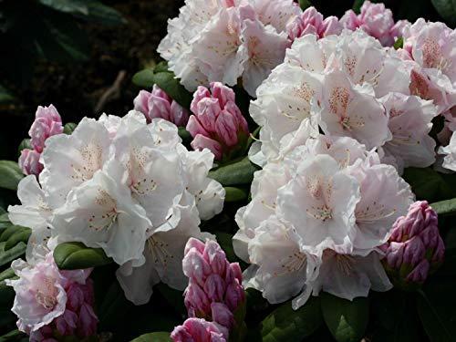 SANHOC Samen-Paket: Rhododendron yakushimanum Schneekrone - Rhododendron - inSEED