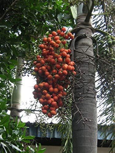 PLAT FIRM GERMINATIONSAMEN: 10 Samen foxtail Palm-, Wodyetia bifurcata, Wodyetia, Normanbya normanbyi