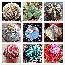 Virtue 100 teile/beutel Echte mini kaktus samen, zimmerpflanze für hausgarten. Super seltene saftige beständige Krautanlagen, Bonsaischalenblume sehen