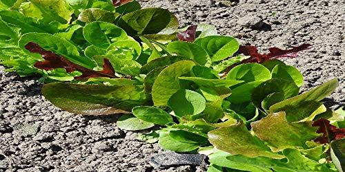 Les Graines Bocquet - Graines De Mesclun - Mélange De Salades - Graines Potagères À Semer - Sachet De 4Grammes