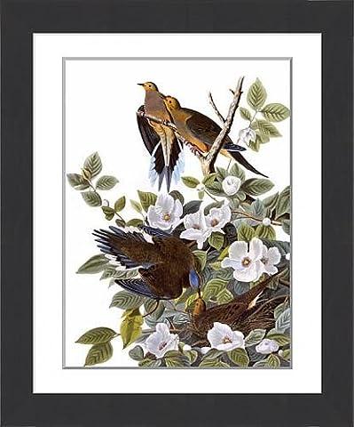 Framed Print of Carolina Turtle Dove, by John James Audubon