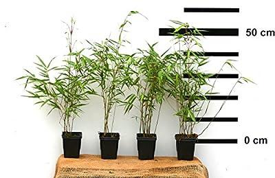 12 x Bambus Fargesia rufa winterhart und schnell-wachsend, 40-50 cm hoch
