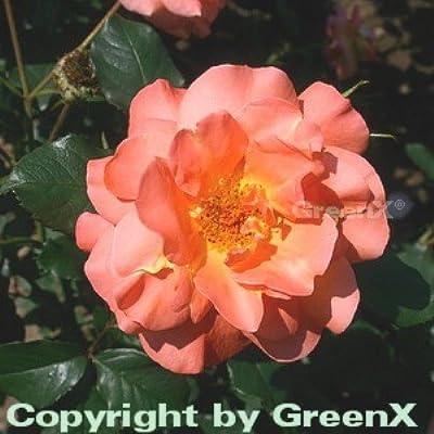 Strauchrose Westerland® 30-60cm von Baumschule auf Du und dein Garten