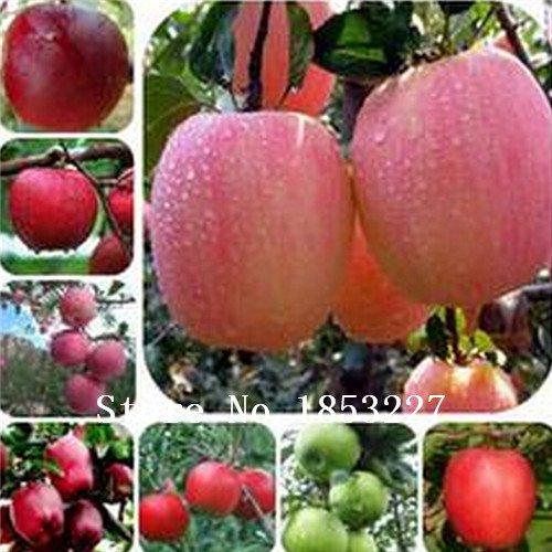 30-semillas-de-nuez-de-caju-de-apple-planta-anacardium-occidentale-arbol-de-la-plantacion-de-semilla