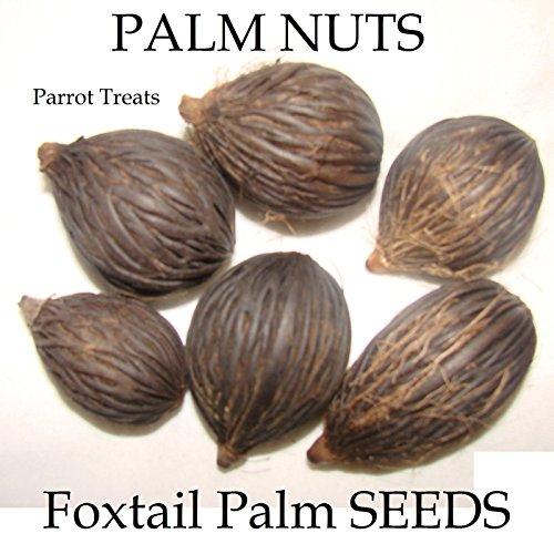 ~ MACAW TREATS ~ PALM NUTS Wodyetia bifurcata 12 BIG frische Samen BIO PARROT
