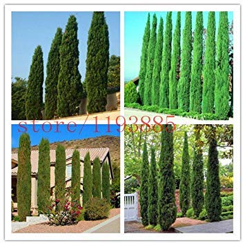 Virtue Tree Seeds 100 pcs Italian Cypress (Cupressus Sempervirens Stricta) Seeds Home Gardening