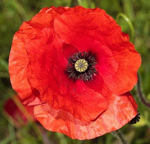 papavero-rosso-1800-semi-rosola-campo-rosolaccio-comune-selvatico-papaver-rhoeas