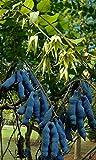 Decaisnea fargesii Blaugurkenbaum, absolut winterhart, 10 Sa,em