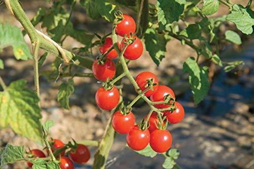 Generic Seeds: Seeds : USA F Hybrid Jasper Cherry Tomato 25- Seeds Usa-hybrid