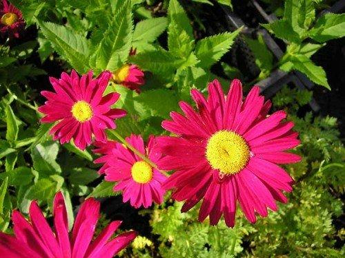 OBI Rote Blüten