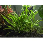 Java Fern - Huge 3 by 5 inch Mat with 30 to 50 Leaves - Live Aquarium Plant by Aquatic Arts by Aquatic Arts 2