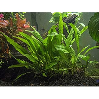 Java Fern - Huge 3 by 5 inch Mat with 30 to 50 Leaves - Live Aquarium Plant by Aquatic Arts by Aquatic Arts 8