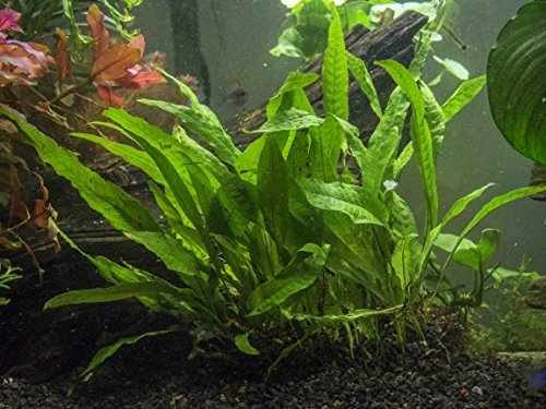 Java Fern - Huge 3 by 5 inch Mat with 30 to 50 Leaves - Live Aquarium Plant by Aquatic Arts by Aquatic Arts 1