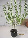 Salix fragilis - Bruchweide, Knackweide