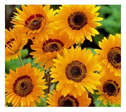 375x Ringelblume Prince of Orange-Prächtiges Bärenohr Samen Garten K9
