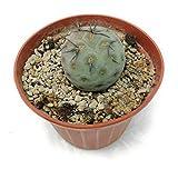 PIANTE GRASSE VERE RARE Tephrocactus Geometricus VASO 10,5 COLTIVAZIONE Produzione Viggiano Cactus