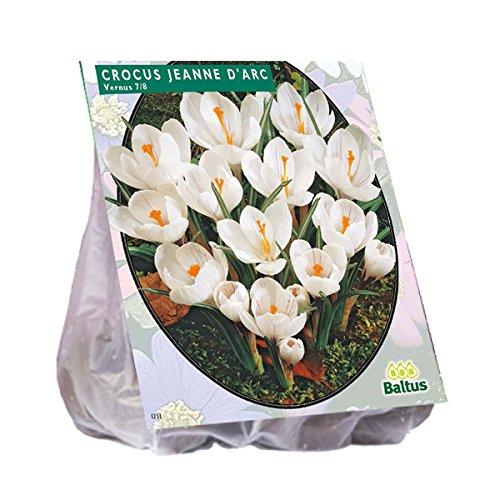 Baltus Blumenzwiebeln