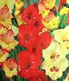 'Tequila Sunrise Mischung' großen Blüten Gladiolen ~ 8Leuchtmittel 12/14cm +