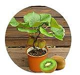 10 Samen Kiwi Bonsai Kübelpflanze Balkonpflanze Topfpflanze Obstsamen Kiwibaum