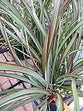 Neuseelandflachs Tom Thumb - Phormium tenax Tom Thumb (40-60)